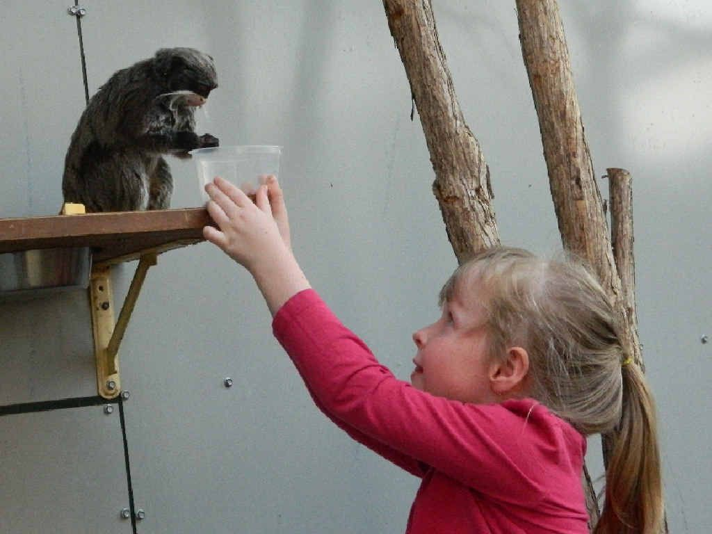 MISCHIEVOUS: Five-year-old Maddie Robinson welcomes one of the new emperor tamarins to its new Australian home at the Darling Downs Zoo.