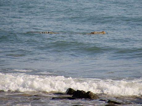 Crocodile spotted near Eimeo