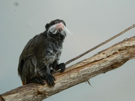 One of the imported Emperor Tamarins at the Darling Downs Zoo.