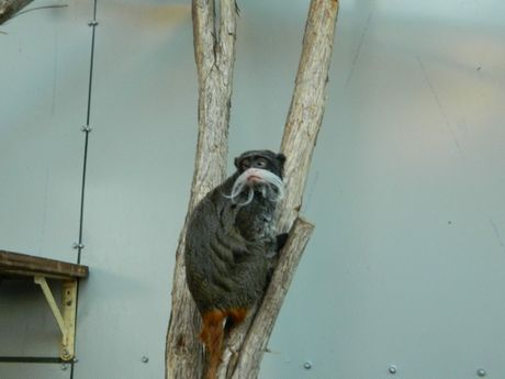 The new Emperor Tamarins were imported from a zoo in Northern Ireland and the Channel Islands. Photo Contributed
