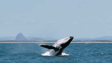 Images supplied by Mooloolaba whale