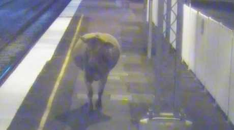 Rosie the cow walking the line at Rosewood Station.