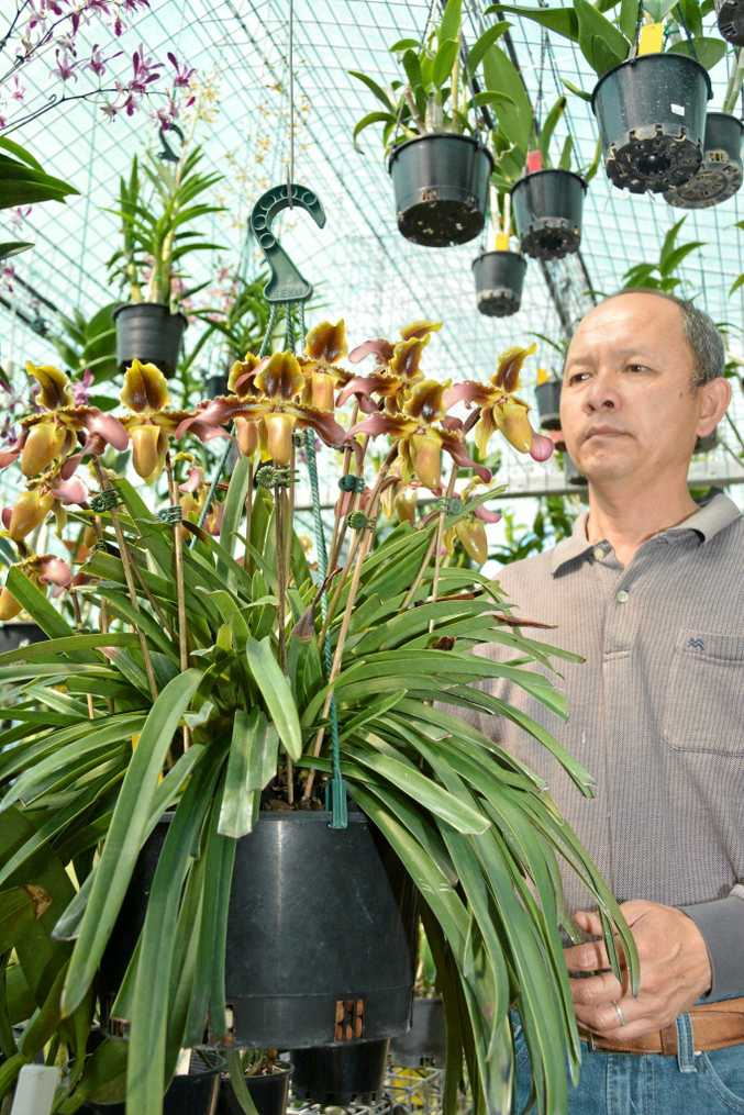 Bernie You inspects his champion orchid Ivy ahead of the Tweed Orchid Show and Fair.