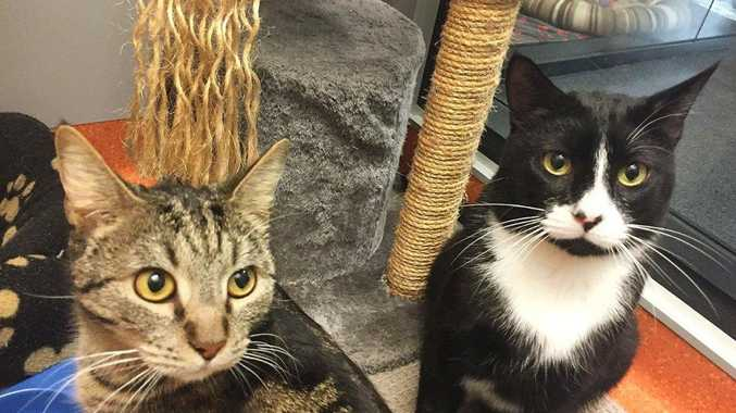 BASIL AND HAMISH are two domestic short hairs looking for a new home together. Basil is just over two years old and Hamish recently celebrated his fourth birthday. They are just $250 to adopt together.