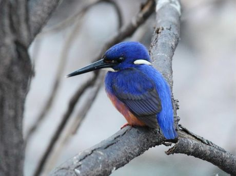 Wayne Day's photo of a Azure Kingfisher at Broadwater.