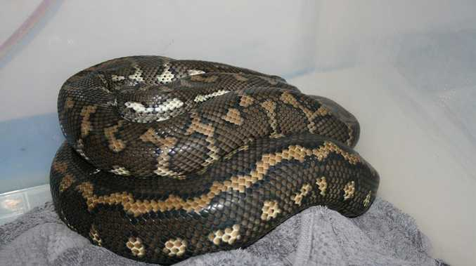 The python, dubbed