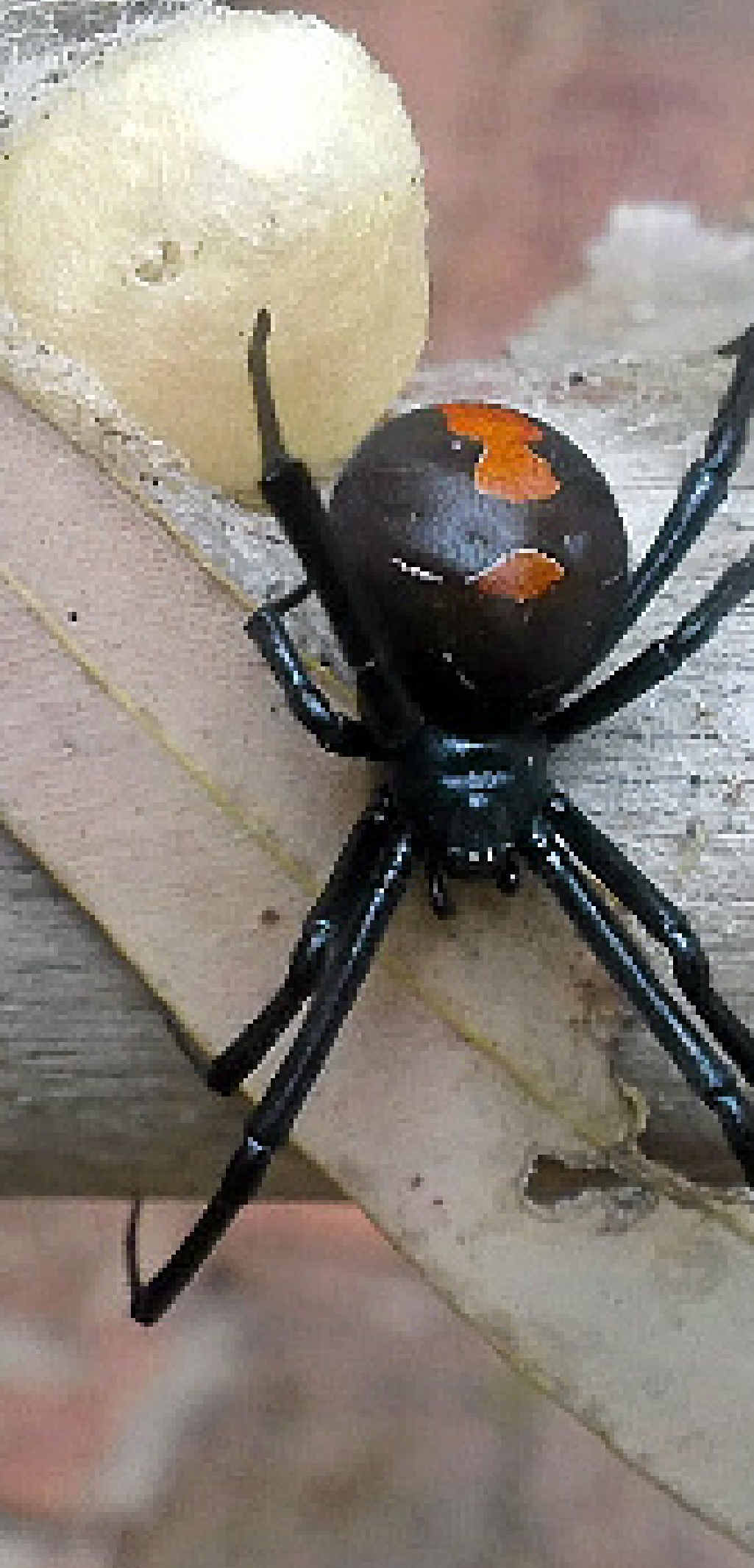 REDBACK MENACE: A Resident at Cloudscape estate says she kills on average 20 redback spiders a week.