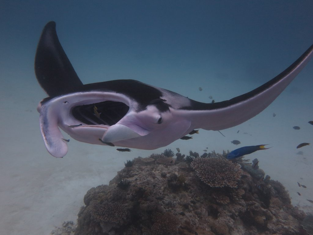 Pink manta ray spotted at Lady Elliot Island.