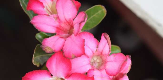 Desert Roses belong to the Adenium plant family