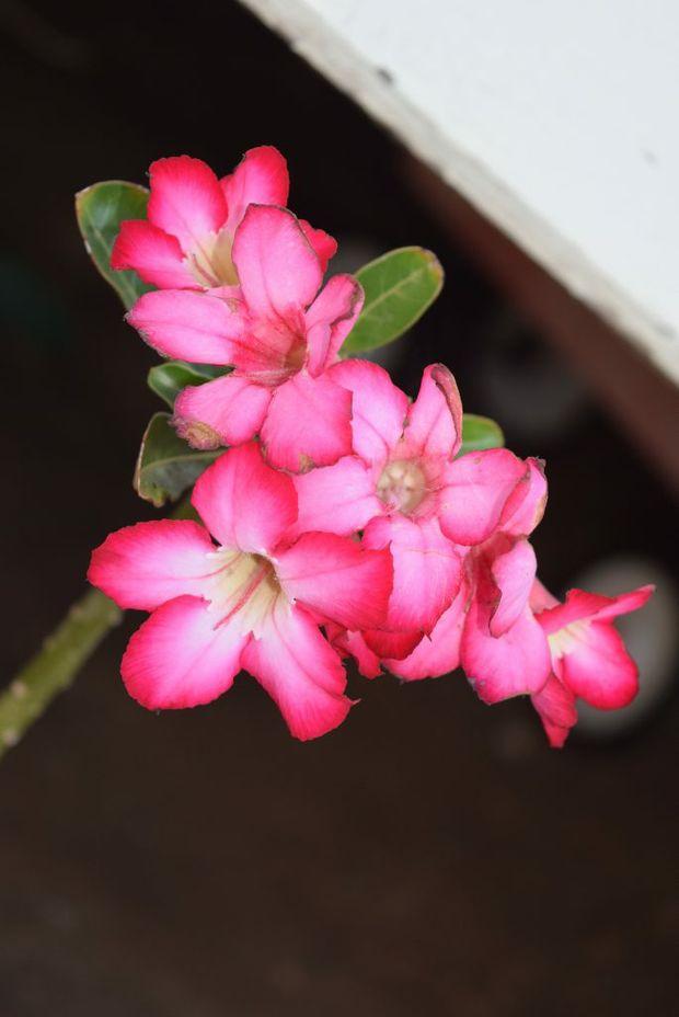 Desert Roses belong to the Adenium plant family