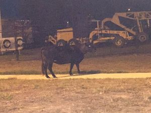 Cow on the loose in Rockhampton