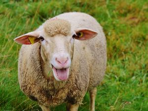 Sheep farts force plane to land in Indonesia