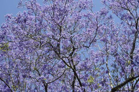 Toowoomba trees: Jacaranda Photo Bev Lacey / The Chronicle