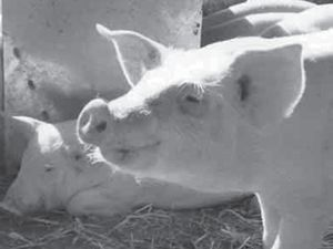 LETTERS: Debate continues over the proposed Kybong piggery