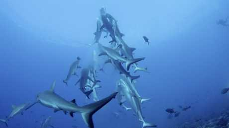 SHARK FEAST: Scientists and a professional film crew working in French Polynesia on behalf of the Global Reef Expedition captured these grey reek sharks in a once-a-year feeding frenzy Photo: Contributed