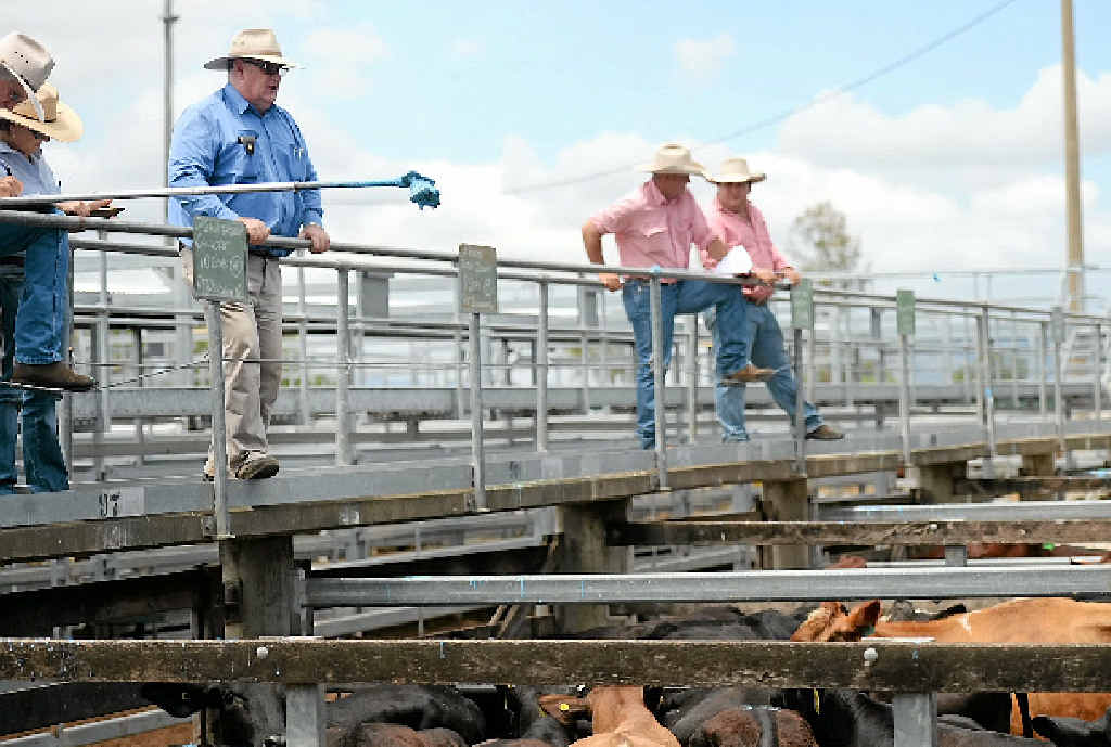 MOOOVING ON: David Francis from RF Duncan and Co checks out the stock at the CQLX Saleyards at Gracemere yesterday.