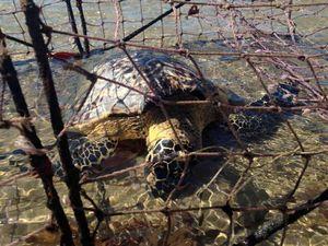 Sea turtle found dead in crab pot on beach