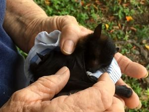 Flying fox rescued
