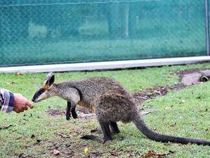 Wallaby shot at Fraser Coast Wildlife Sanctuary