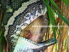 Watch as a snake eats a possum alive
