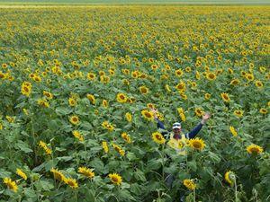 Sunflower crop in Marian