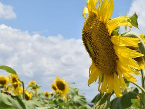 Marian sunflower crop puts a smile on farmer's face