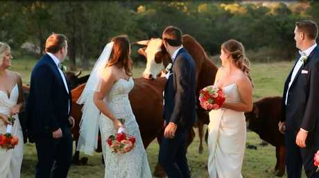 The amorous bull mounts a cow during the nuptials.