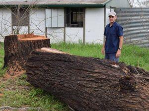 Ironbark tree chopping has Fernvale breeders barking mad