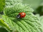 Ladybirds are a gardener's friend.