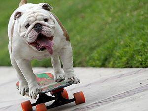 Otto the Skateboarding Dog takes world record