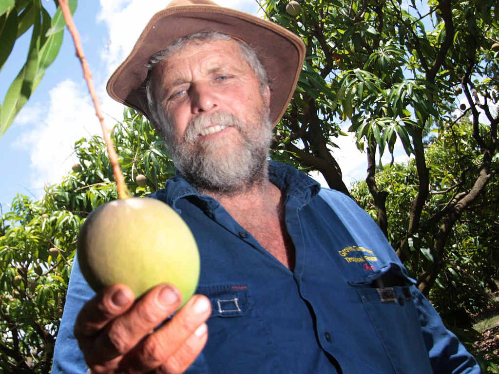 SUMMER FRUIT: Ian holds a Honey Gold Mango which will be ready for harvest in the next month.