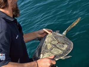 Rehabilitated green turtles released after hospital stint