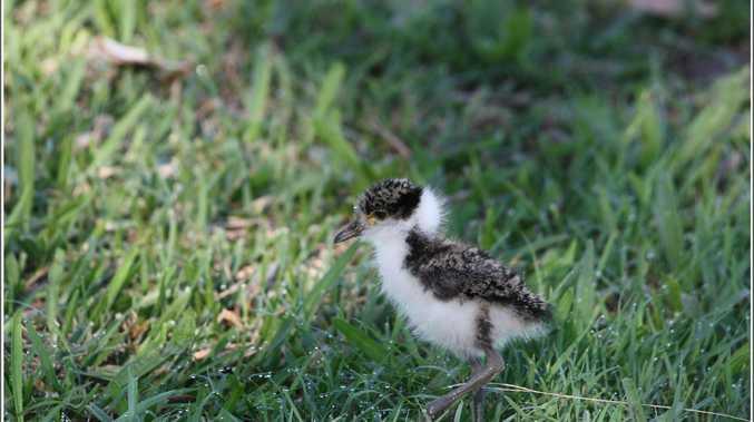 POD Wayne Day - Masked lapwing chick at Evans Head