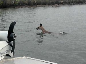 Kangaroo spotted swimming across river