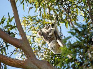 Council praised as NPA seeks government action on koalas