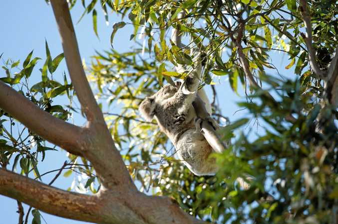 A koala makes an appearance in Pioneer Park on the edge of Coffs Harbour CBD.