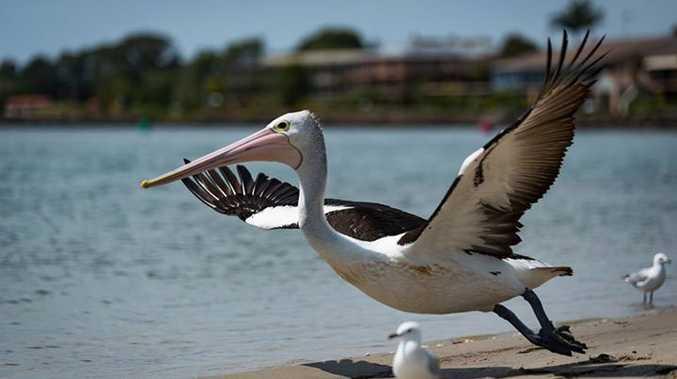 Brett Campbell - Pelican in north creek Ballina