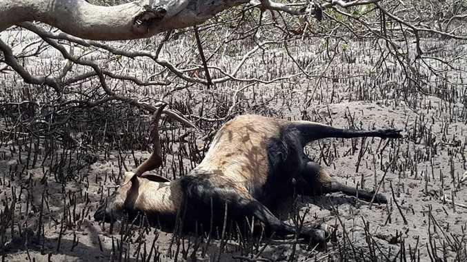 A dead feral goat found on Great Keppel Island, it's believed it had drowned.