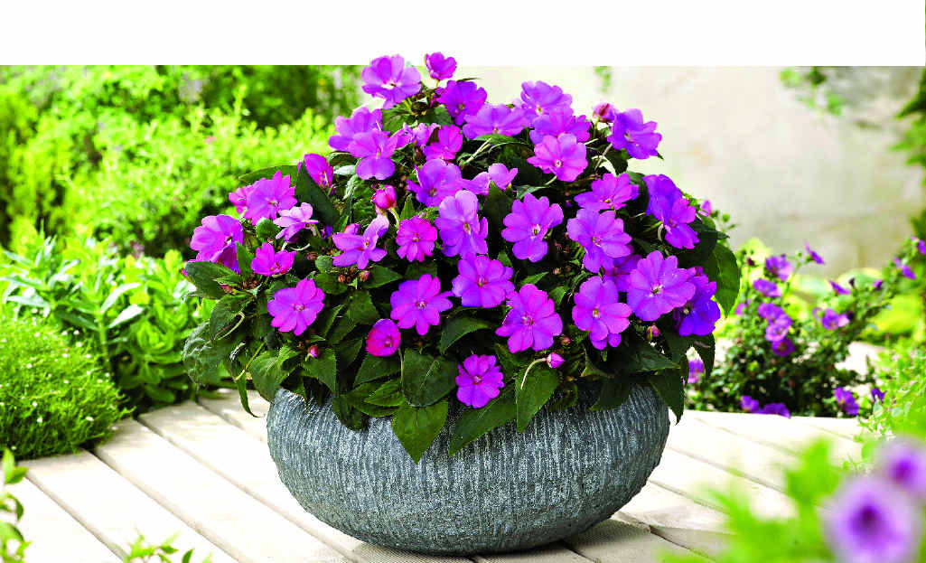 Hardy perennials like sunpatiens flower profusely, but you won't need to replace them as often as annuals.