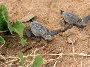 Foxes on the run in turtle season