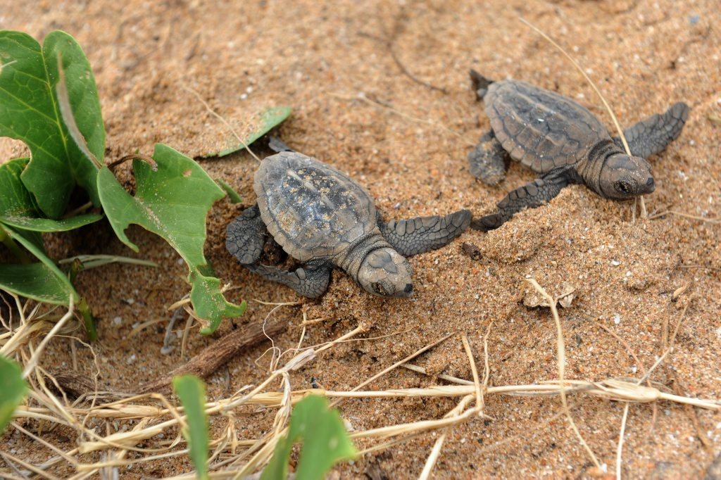 TURTLE CONSERVATION: Hatchling Loggerhead turtles on Mon Repos Beach Photo: Mike Knott / NewsMail