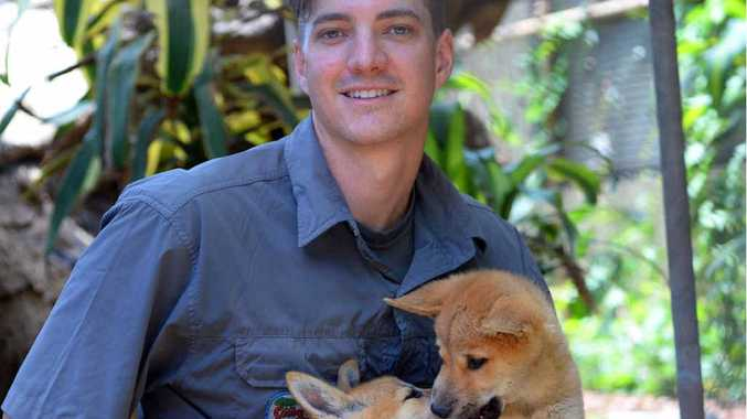 PLAYFUL PUPS: Kieron Smedley plays with the two new 100% pure-bred dingo pups Diva and Dino at Cooberrie Park, Yeppoon.
