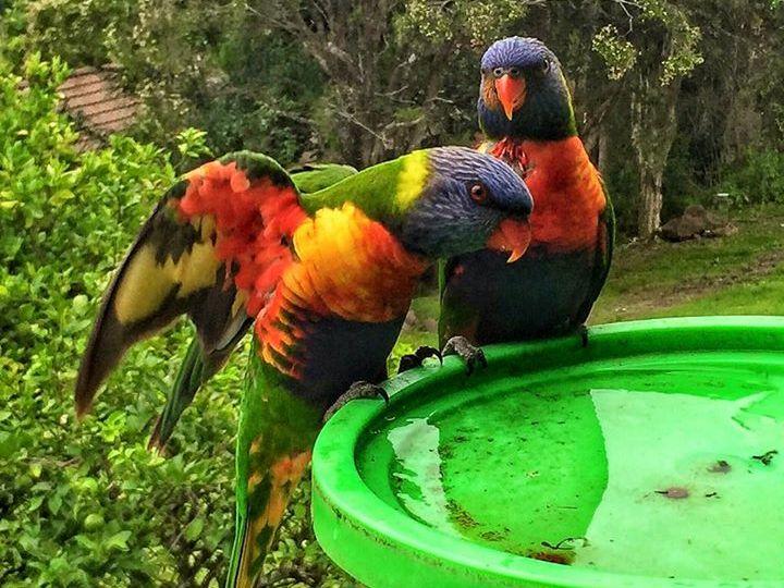 Kerri Irene O'Halloran - our beautiful rainbow lorikeets having a drink