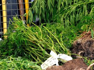 Huge cannabis crop found in Bundjalung National Park