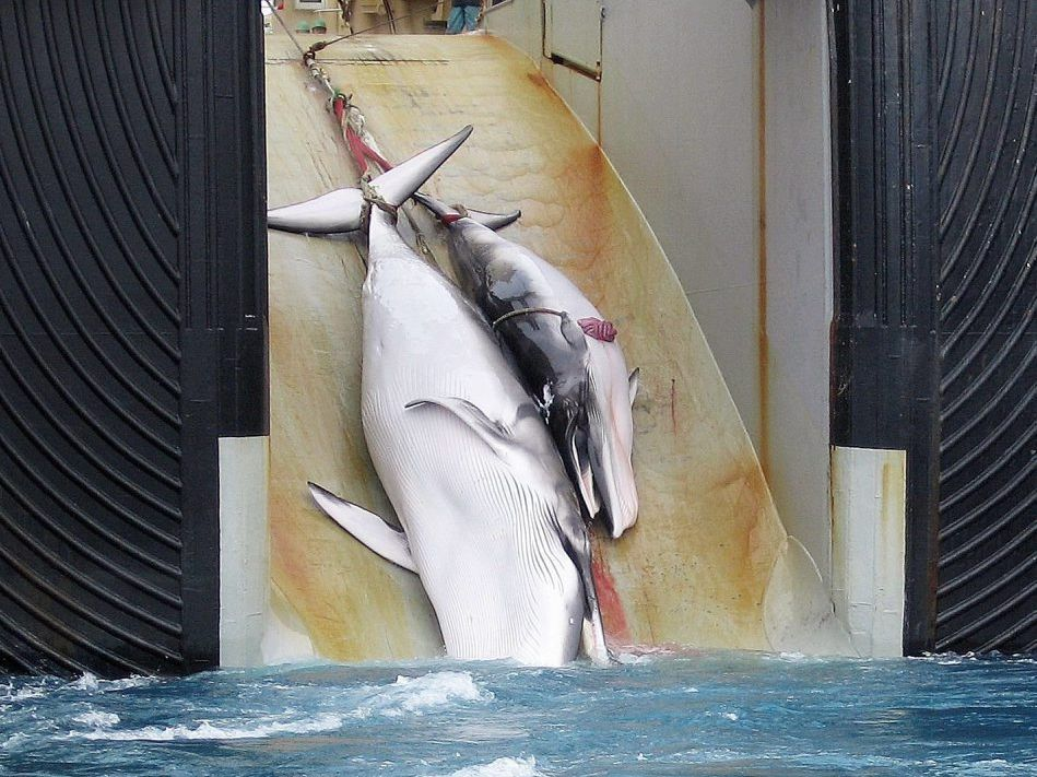 BLOODY BUSINESS: A mother whale and her calf are dragged on board a Japanese ship.