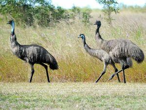 Man hospitalised after crashing into emu