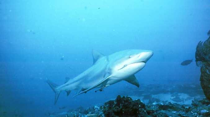 DANGER LURKS: A bull shark was spotted in Pine Creek on Friday,