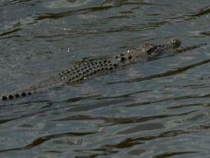 VIDEO: Large croc thrills onlookers in Rockhampton