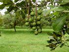 Storm wreaks havoc on local macadamia farms