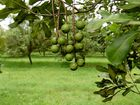 MACADAMIA TOUR: Trees on a Pashley's Road farm. Photo: Mike Knott / NewsMail